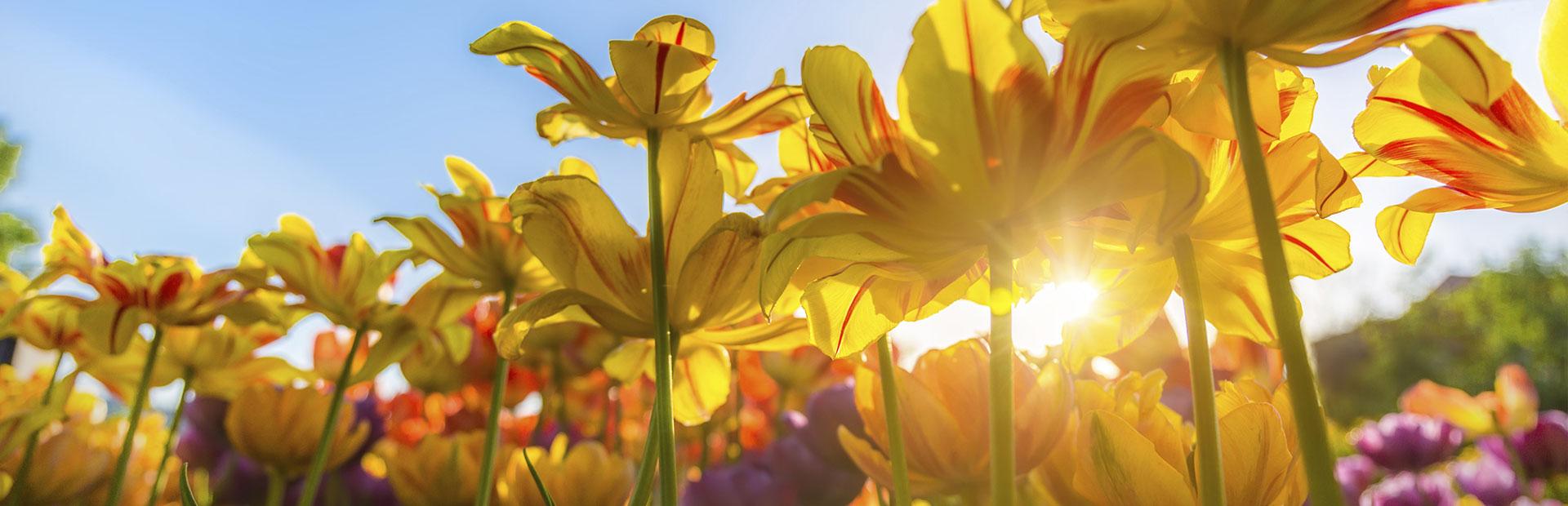 http://derstinelandscaping.com/wp-content/uploads/2019/08/tulips-slider.jpg